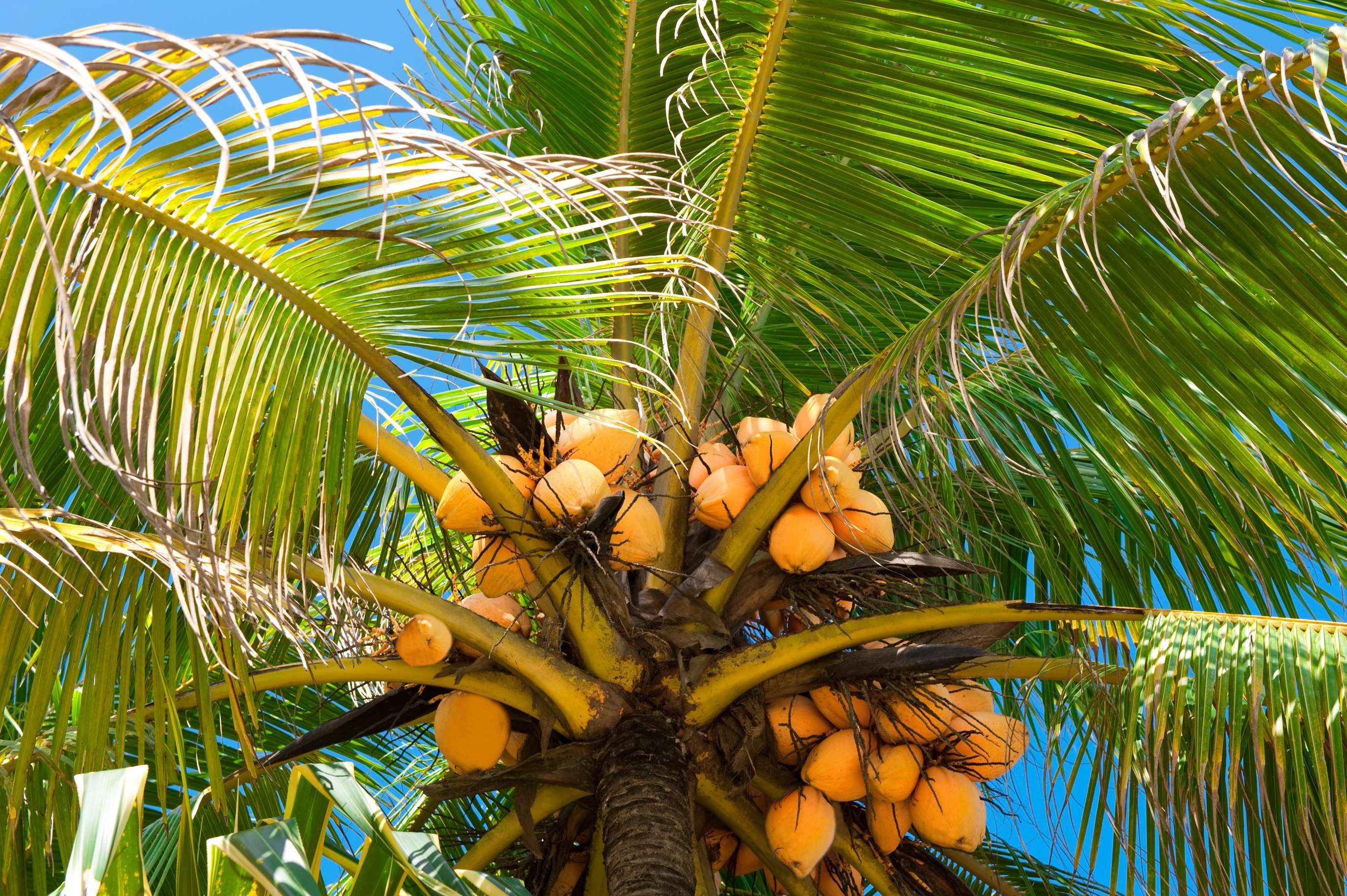 Coconut tree essay